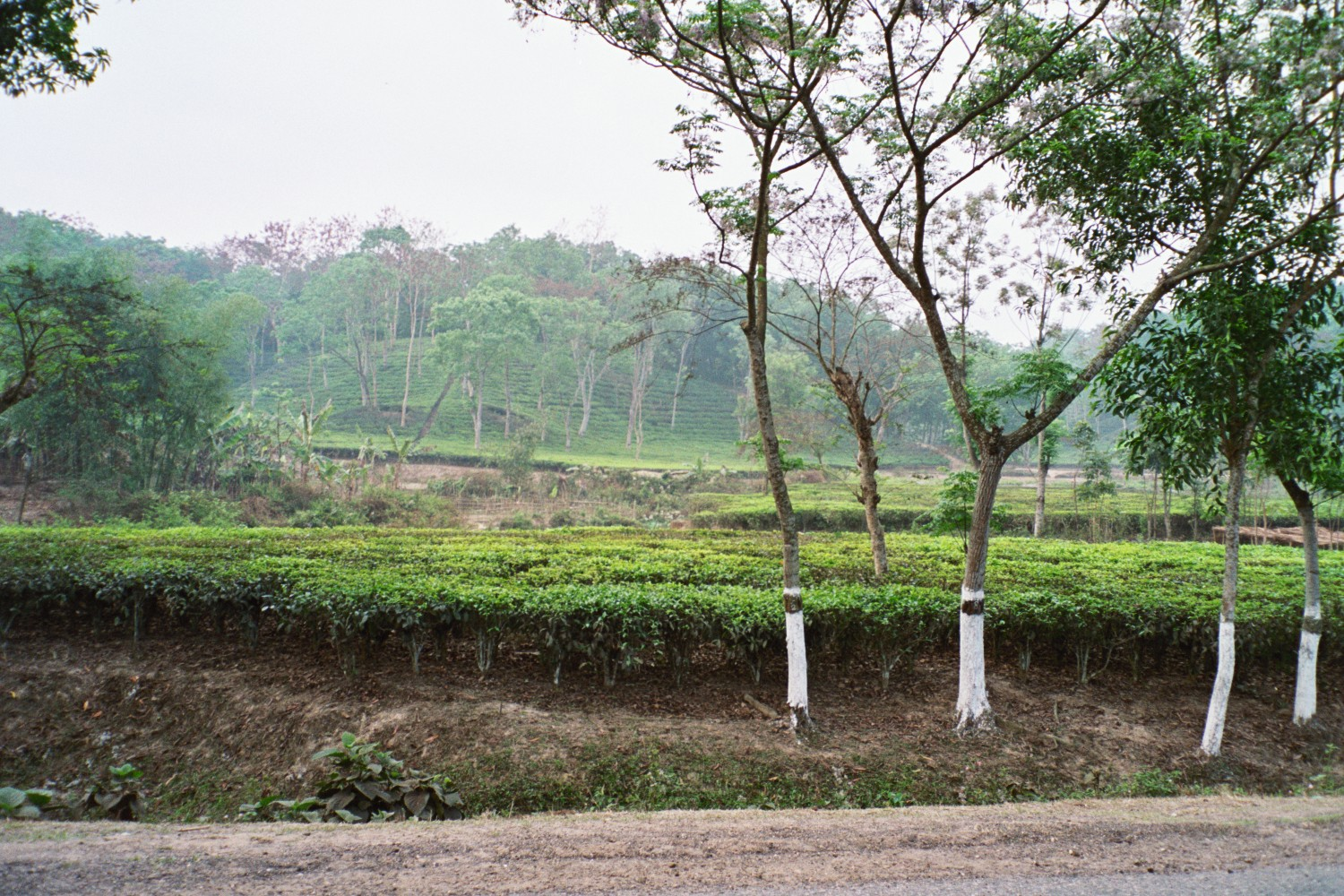 Future free clinic site in the remote tea- garden region of Bangladesh